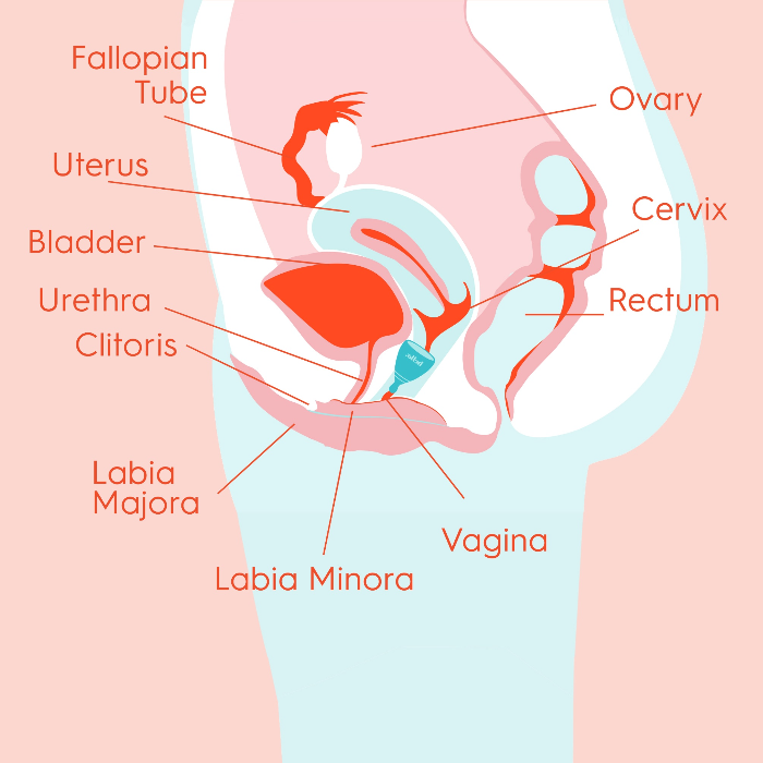 Hello Education: Cervix Basics And How It Pertains To Using A Menstrual Cup