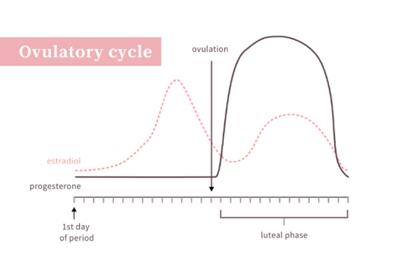 Follicular phase versus luteal phase - Ovulatory Cycle