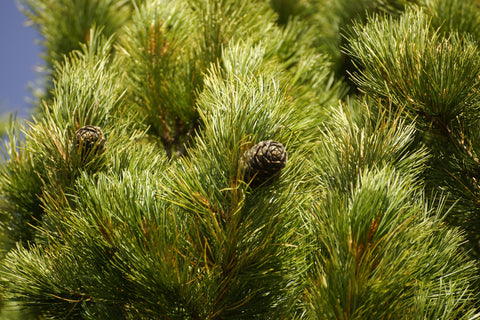 Cedarwood is the key ingredient that brings the mountain to the Original Beard Mountain Scent