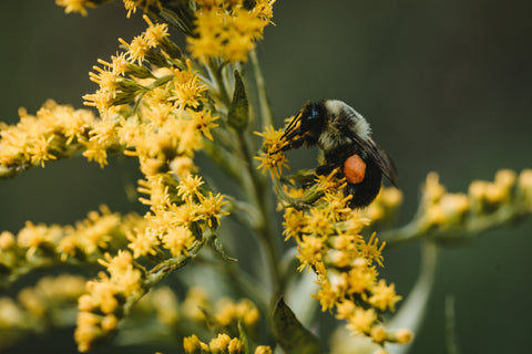 Bee On Plant - Beeswax is a core ingredient in Beard Mountain mustache wax