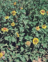 Load image into Gallery viewer, Awnless Bush Sunflower