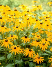 Load image into Gallery viewer, Black-Eyed Susan