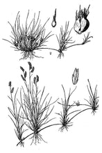 Load image into Gallery viewer, Buffalograss