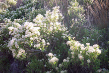 Load image into Gallery viewer, Ceanothus