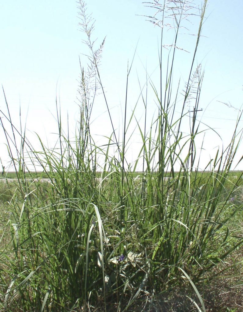 Giant Dropseed