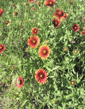 Load image into Gallery viewer, Indian Blanket