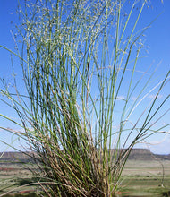 Load image into Gallery viewer, Indian Ricegrass