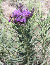 Load image into Gallery viewer, Ironweed
