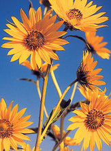 Load image into Gallery viewer, Maximilian Sunflower