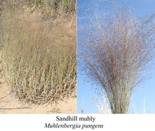 Load image into Gallery viewer, Sandhill Muhly