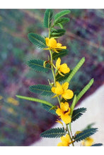 Load image into Gallery viewer, Partridge Pea