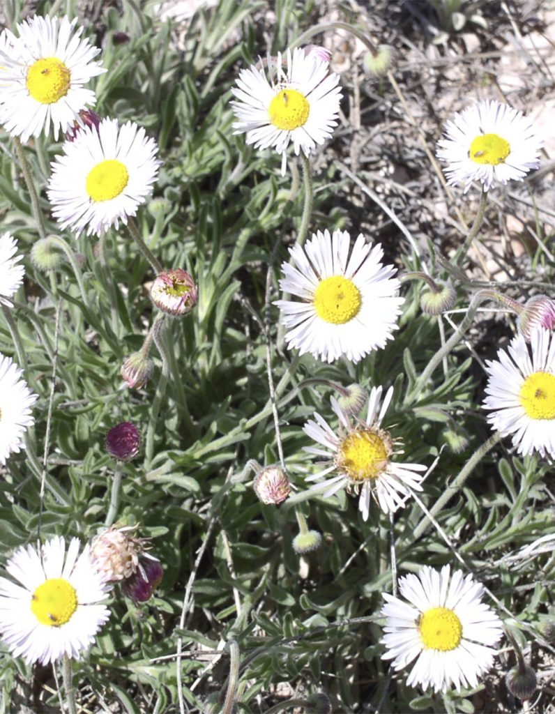 Plains Daisy