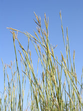 Load image into Gallery viewer, Sand Bluestem