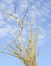 Load image into Gallery viewer, Scratchgrass Muhly