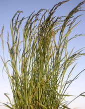 Load image into Gallery viewer, Tall Fescue