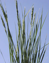 Load image into Gallery viewer, Western Wheatgrass