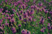Load image into Gallery viewer, Purple Prairie Clover
