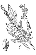 Load image into Gallery viewer, Western Ragweed