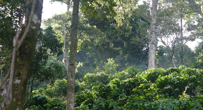 Shade Grown Coffee: What it means for you, the farmers, and the crop