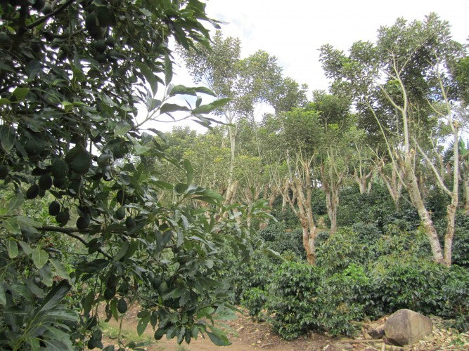 Avocados, nitrogen fixing trees and coffee on Miguel Badilla's Rainforest Alliance certified farm in Santa Maria de Dota, Tarrazu, Costa Rica, 2012