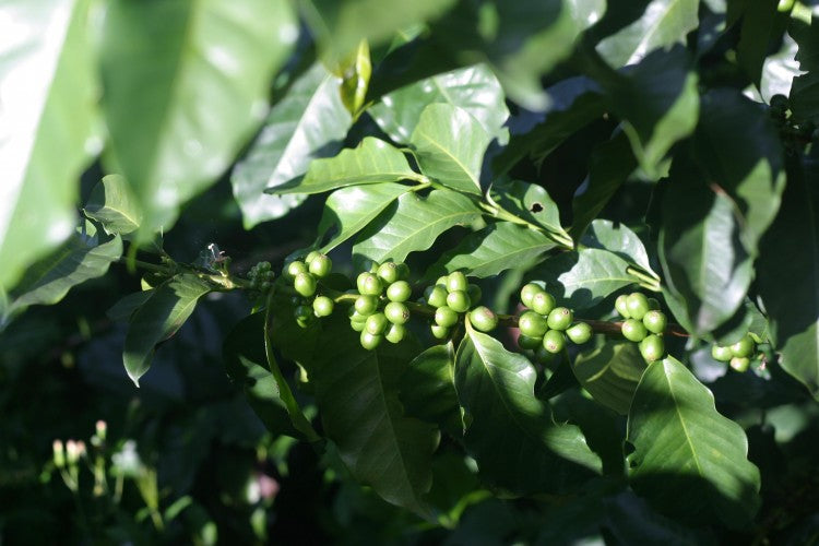 Green, unripe coffee cherries in development.