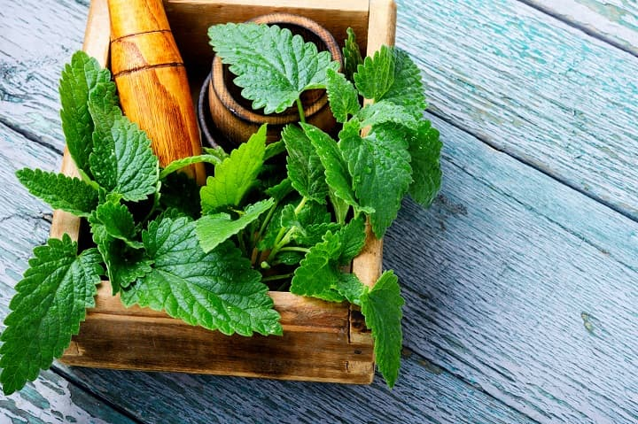 lemon balm promotes relaxation