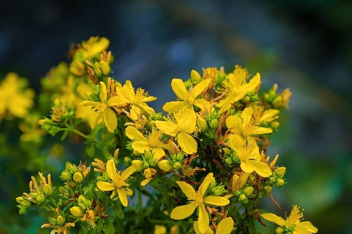 St. John's Wort for mental agitation and depression