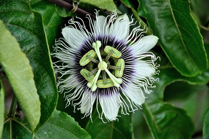 passionflower against nervousness