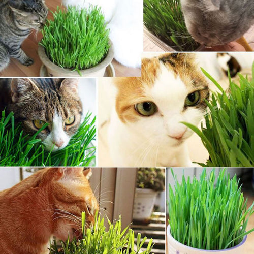 300pcs/Pack Cat Grass Seed 100% High Quality And High Survival Rate Natural Cat Grass Seeds Cat Hairball Control Toy
