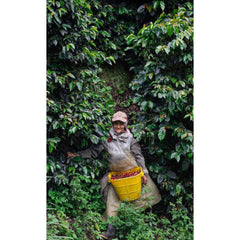 Farm Photos Origin Coffee Colombia La Joyeria Harvest Time