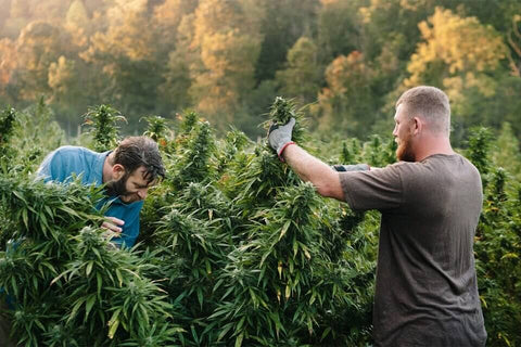 Cannabis People Harvest