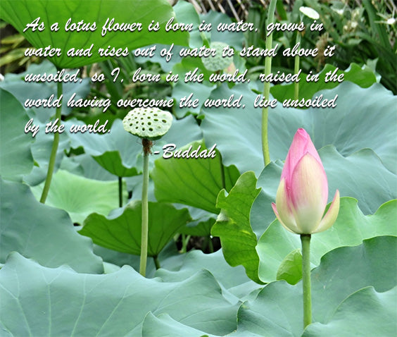 Lotus and Transcendence