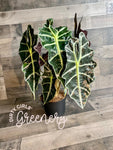 "*SALE* Alocasia Polly ""African Mask"" 6"""