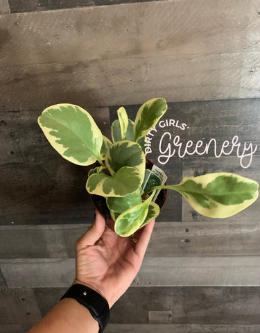 *SALE* Golden Gate Peperomia 4""