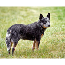 Load image into Gallery viewer, Dogs - Australian Blue Heeler - Collecta