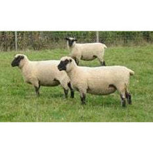 Load image into Gallery viewer, Crossbred Sheep