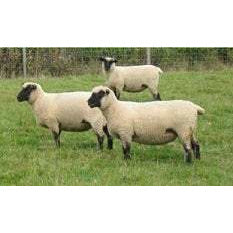 Crossbred Sheep