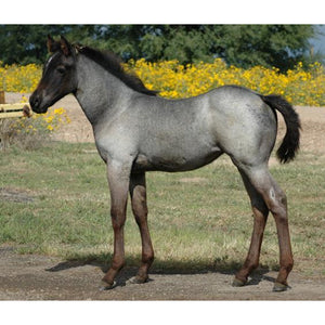 Brumby Foal Grey Roan - Collecta