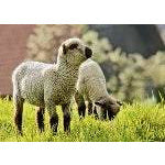 Sheep - Crossbred Lamb
