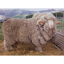 Load image into Gallery viewer, Sheep - Merino Ram - Large Version