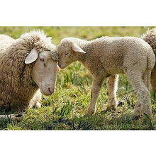 Load image into Gallery viewer, Sheep - Merino Lamb - Schleich