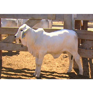 Grey Brahman Calf - Collecta