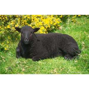 Sheep - Black Sheep - Schleich