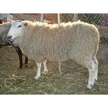Load image into Gallery viewer, Border Leicester Sheep - Collecta
