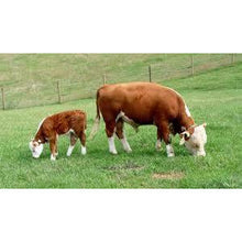 Load image into Gallery viewer, Hereford Calf Grazing - Collecta
