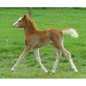 Horses - Chestnut Foal - Collecta