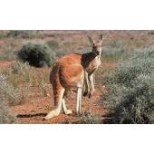 Load image into Gallery viewer, Red Kangaroo & Joey