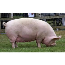 Load image into Gallery viewer, Pigs - Sow - Collecta