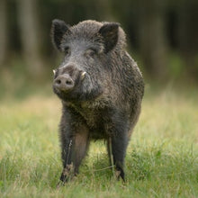 Load image into Gallery viewer, Pigs - Wild Boar - Schleich