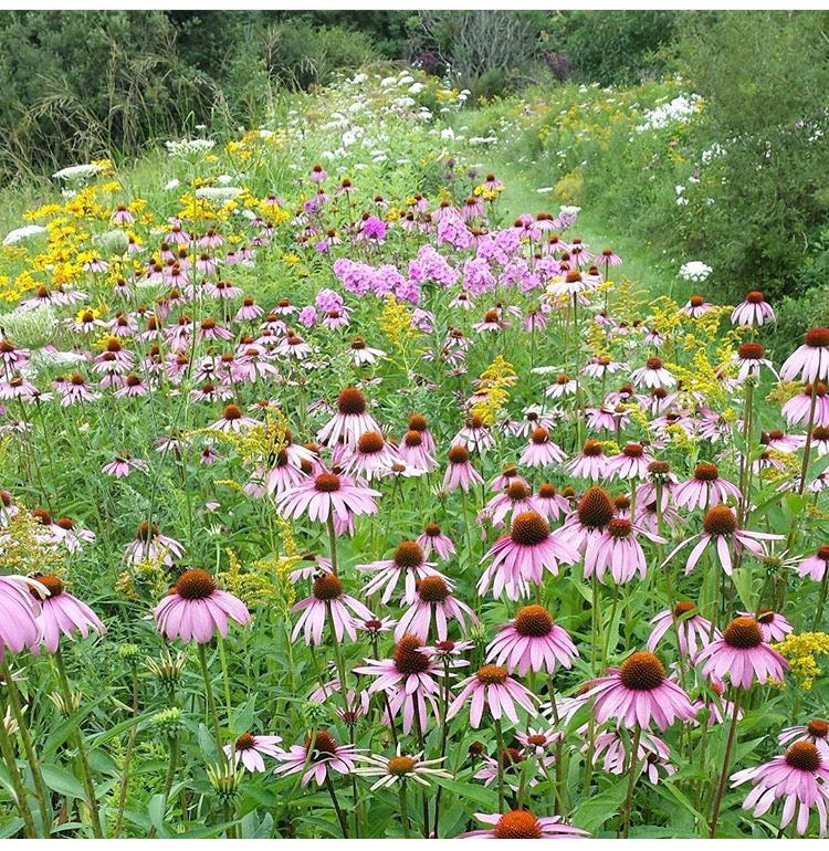 Mountain meadow echinacea cone flower wildflowers